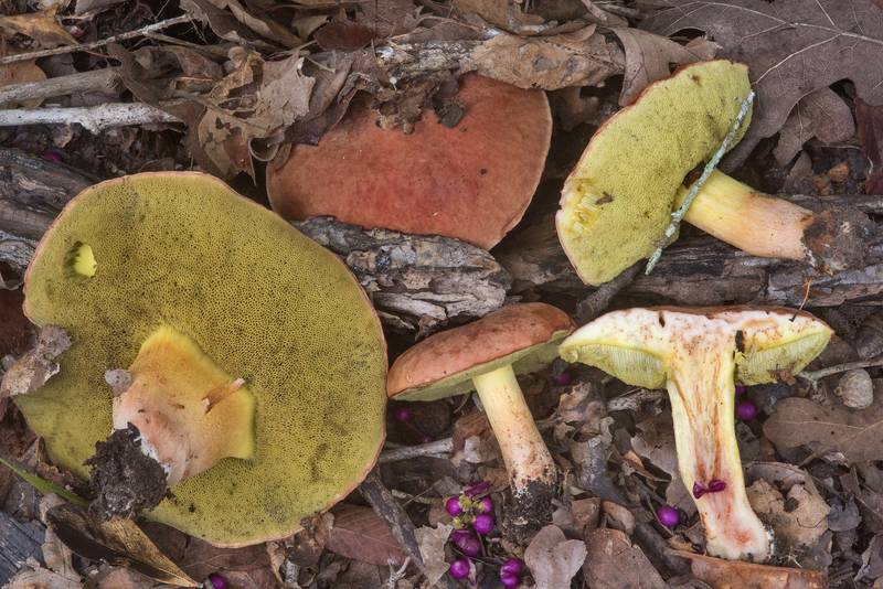 Some bolete mushrooms with olive pores in Lick Creek Park. College Station, Texas, October 3, 2018
