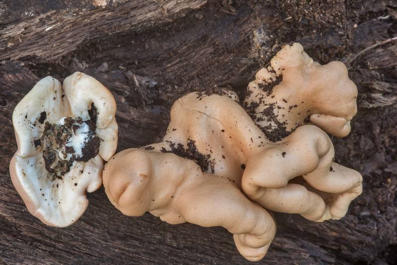 Mushrooms Trichoderma peltatum on a rotting oak log in Lick Creek Park. College Station, Texas, October 3, 2018
