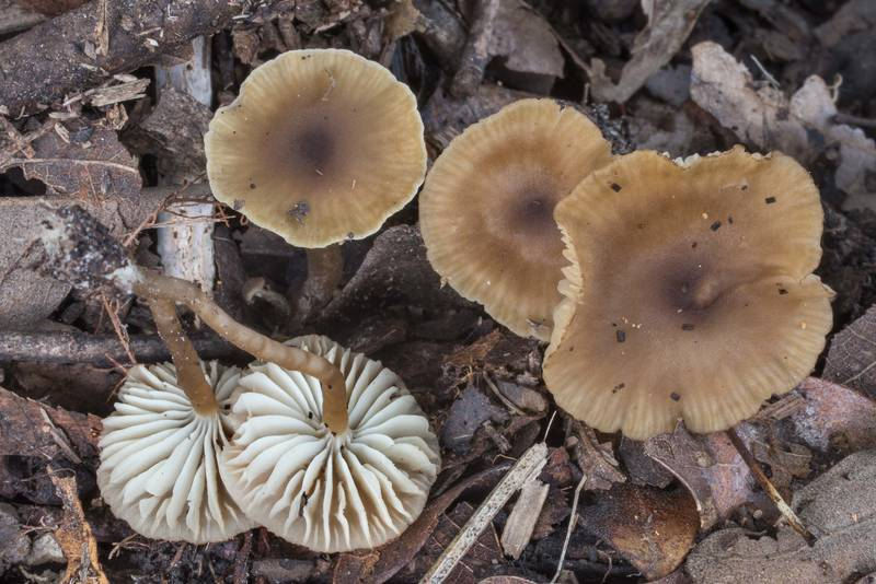 Group of Neohygrocybe mushrooms on Post Oak Trail in Lick Creek Park. College Station, Texas, October 5, 2018