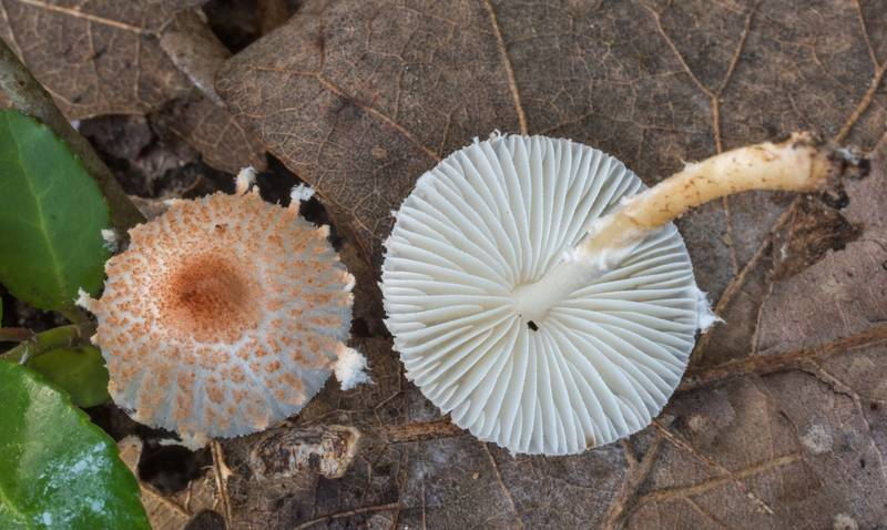 "<B>Leucoagaricus rubrotinctus</B> (Lepiota rubrotincta) mushrooms on Post Oak Trail in Lick Creek Park. College Station, Texas, <A HREF=""../date-en/2018-10-05.htm"">October 5, 2018</A>"