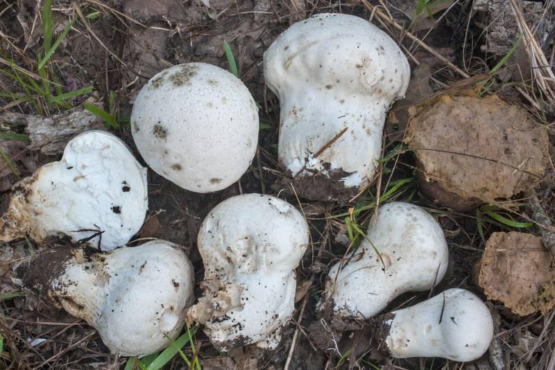 Group of brain puffball mushroom (Calvatia craniiformis) on Post Oak Trail in Lick Creek Park. College Station, Texas, October 5, 2018
