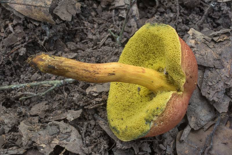 "Underside of <B>Boletus harrisonii</B> mushroom in Lick Creek Park. College Station, Texas, <A HREF=""../date-en/2018-10-05.htm"">October 5, 2018</A>"