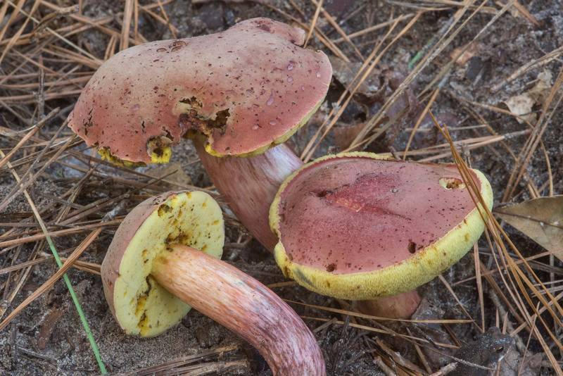 Boletus patrioticus(?) mushrooms on Caney Creek section of Lone Star Hiking Trail in Sam Houston National Forest near Huntsville. Texas, October 6, 2018