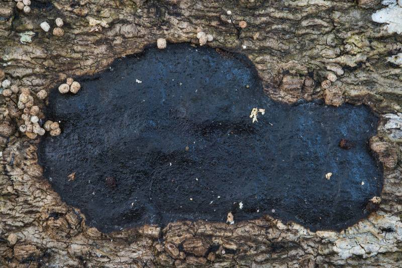 Black Xylariales crust fungus on a fallen oak on Caney Creek Trail (Little Lake Creek Loop Trail) in Sam Houston National Forest near Huntsville. Texas, October 6, 2018