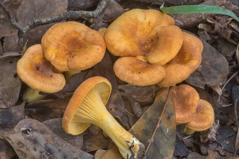 Chanterelle mushrooms Cantharellus lewisii in area of oxbows in Lick Creek Park. College Station, Texas, October 9, 2018