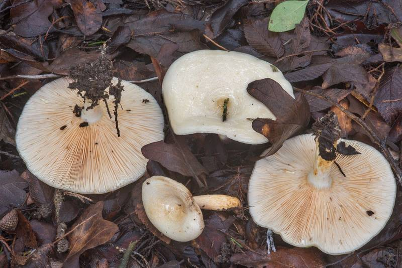 "Milkcap mushrooms <B>Lactarius maculatipes</B> under small oaks in Lake Bryan Park. Bryan, Texas, <A HREF=""../date-en/2018-10-10.htm"">October 10, 2018</A>"