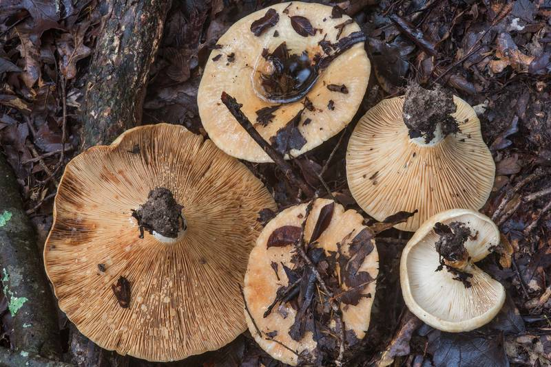 "Large milkcap mushrooms <B>Lactarius maculatipes</B> in Lake Bryan Park. Bryan, Texas, <A HREF=""../date-en/2018-10-10.htm"">October 10, 2018</A>"