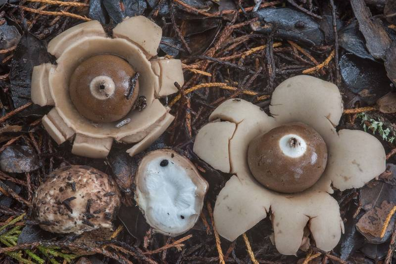"Earth star mushrooms <B>Geastrum triplex</B> under red cedar trees near the lake in Lake Bryan Park. Bryan, Texas, <A HREF=""../date-en/2018-10-10.htm"">October 10, 2018</A>"