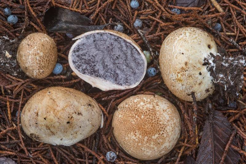 "False puffball mushrooms <B>Scleroderma bovista</B> in Lake Bryan Park. Bryan, Texas, <A HREF=""../date-en/2018-10-10.htm"">October 10, 2018</A>"