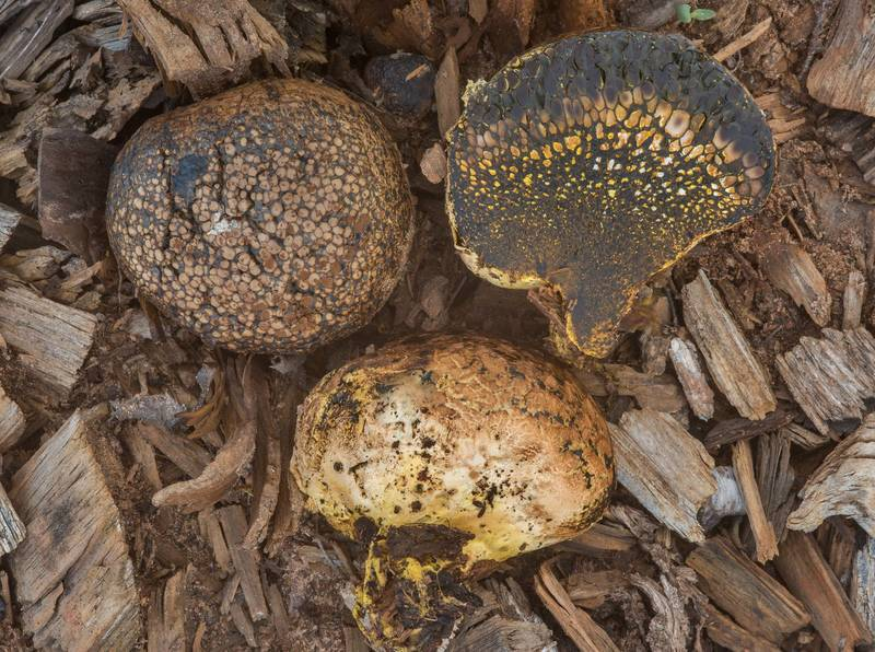 "Dyeball mushrooms (<B>Pisolithus arhizus</B>, Pisolithus tinctorius) on wood chips in Bastrop State Park. Bastrop, Texas, <A HREF=""../date-en/2018-10-14.htm"">October 14, 2018</A>"