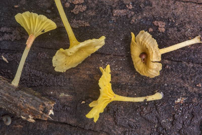 Small yellow Gerronema subclavatum(?) mushrooms on pieces of wood in Hensel Park. College Station, Texas, October 19, 2018