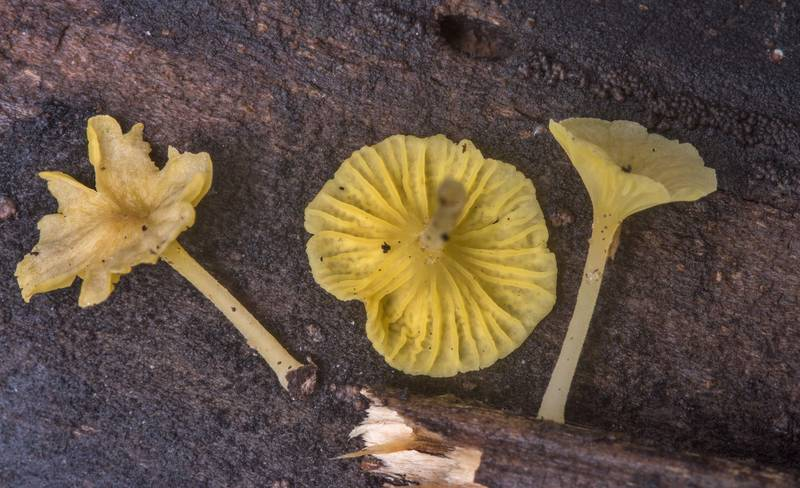 Small yellow Gerronema subclavatum(?) mushrooms (many of them dried out) on pieces of wood in Hensel Park. College Station, Texas, October 19, 2018
