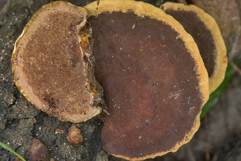 "Shelf fungus <B>Phellinus gilvus</B> (Fuscoporia gilva) on Caney Creek Trail (Little Lake Creek Loop Trail) in Sam Houston National Forest near Huntsville. Texas, <A HREF=""../date-en/2018-10-21.htm"">October 21, 2018</A>"