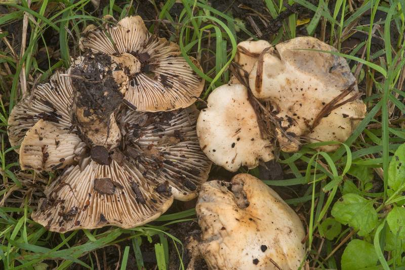 Tricholomatineae(?) mushrooms on a lawn in Wolf Pen Creek Park. College Station, Texas, October 23, 2018