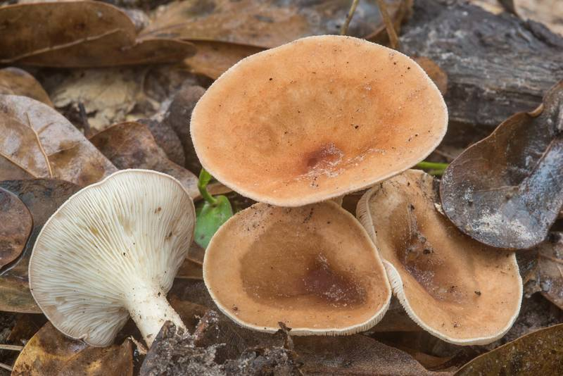 "Funnel mushrooms <B>Clitocybe gibba</B> in Lick Creek Park. College Station, Texas, <A HREF=""../date-en/2018-10-24.htm"">October 24, 2018</A>"