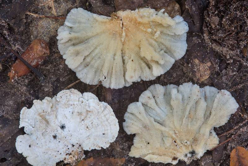 "Tinder mushrooms ochre bracket (<B>Trametes ochracea</B>) fallen from an oak in Huntsville State Park. Texas, <A HREF=""../date-en/2018-10-27.htm"">October 27, 2018</A>"
