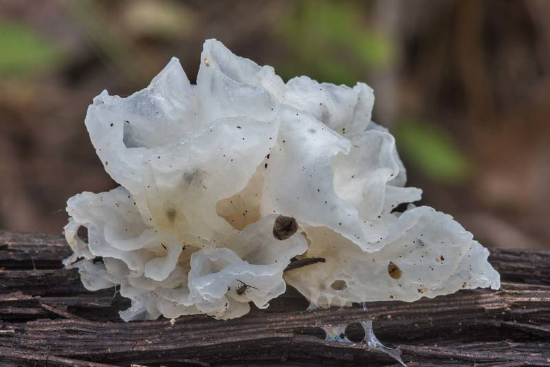 Side view of jelly fungus Tremella fuciformis on a wild grape vine in Huntsville State Park. Texas, October 27, 2018