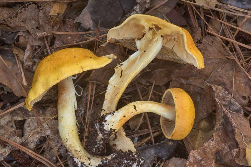 Dissected yellow webcap mushrooms Cortinarius lewisii in Huntsville State Park. Texas, October 27, 2018