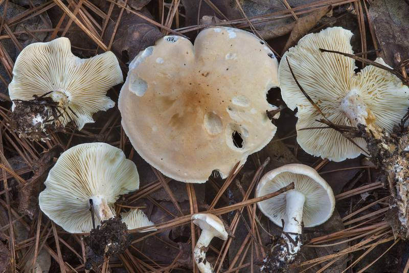 Leucopaxillus laterarius mushrooms in Huntsville State Park. Texas, October 27, 2018
