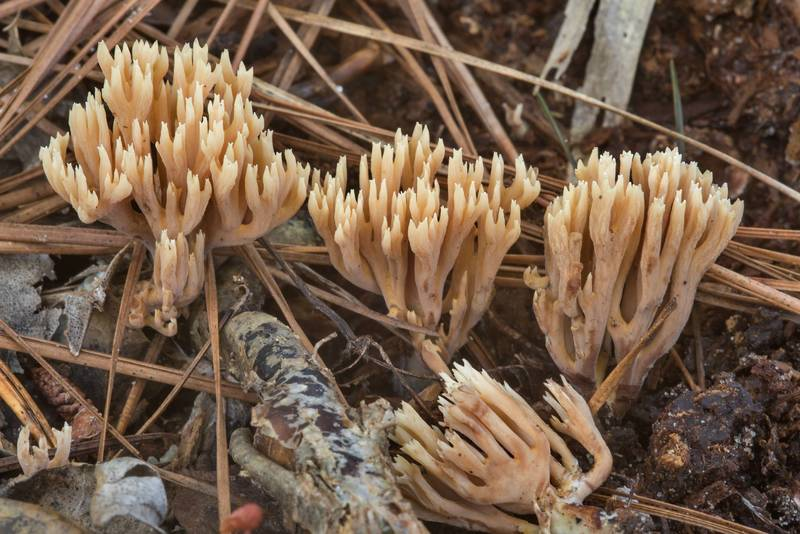 Brown coral mushrooms Ramaria in Huntsville State Park. Texas, October 27, 2018