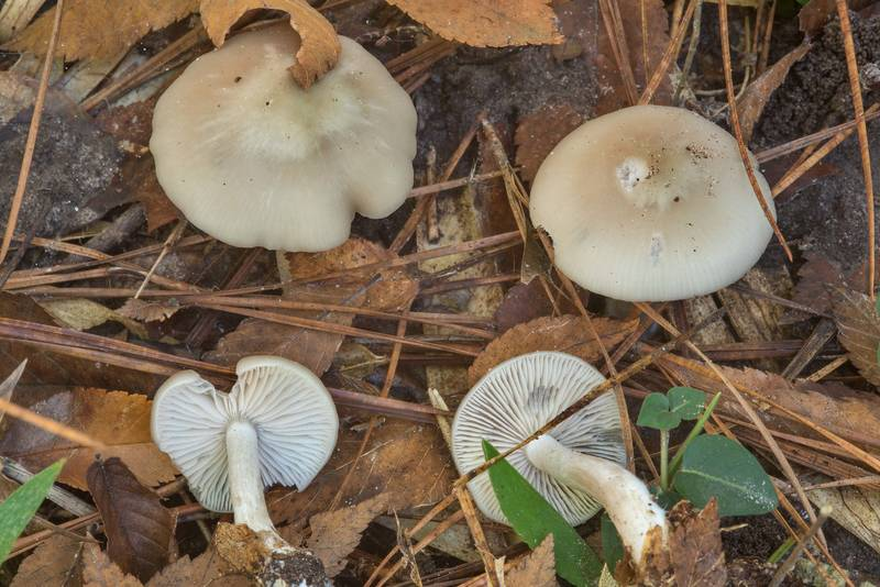 Pale wood pinkgill mushrooms (Entoloma rhodopolium) in Huntsville State Park. Texas, October 27, 2018