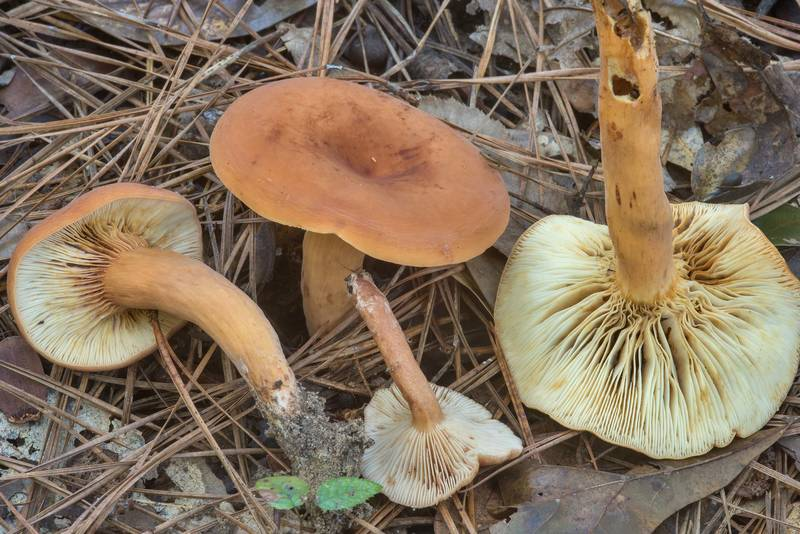 Milkcap mushrooms Lactifluus rugatus (Lactarius hygrophoroides var. rugatus) in Big Creek Scenic Area of Sam Houston National Forest. Shepherd, Texas, October 28, 2018