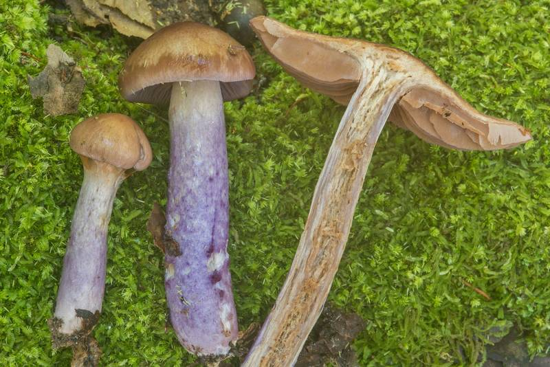 "Close up of webcap mushrooms <B>Cortinarius collinitus</B> in Big Creek Scenic Area of Sam Houston National Forest. Shepherd, Texas, <A HREF=""../date-en/2018-10-28.htm"">October 28, 2018</A>"