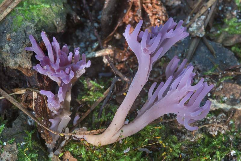 Side view of violet coral mushrooms (Clavaria zollingeri) or may be Clavulina amethystina in Big Creek Scenic Area of Sam Houston National Forest. Shepherd, Texas, October 28, 2018