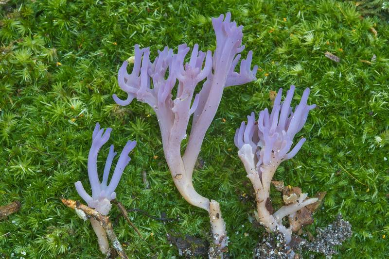 Branches of violet coral mushrooms (Clavaria zollingeri) or may be Clavulina amethystina in Big Creek Scenic Area of Sam Houston National Forest. Shepherd, Texas, October 28, 2018
