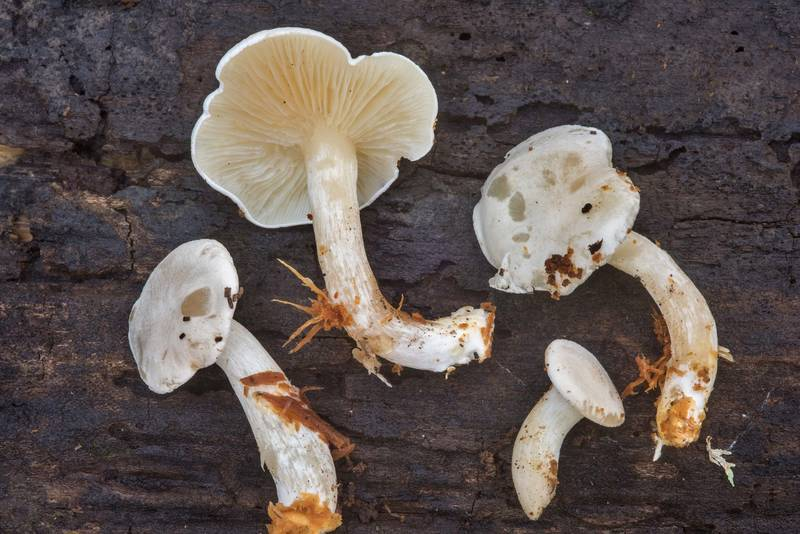 "Mushrooms <B>Ossicaulis lignatilis</B> taken from a hollow stump of a cut oak(?) tree in Lick Creek Park. College Station, Texas, <A HREF=""../date-en/2018-10-30.htm"">October 30, 2018</A>"