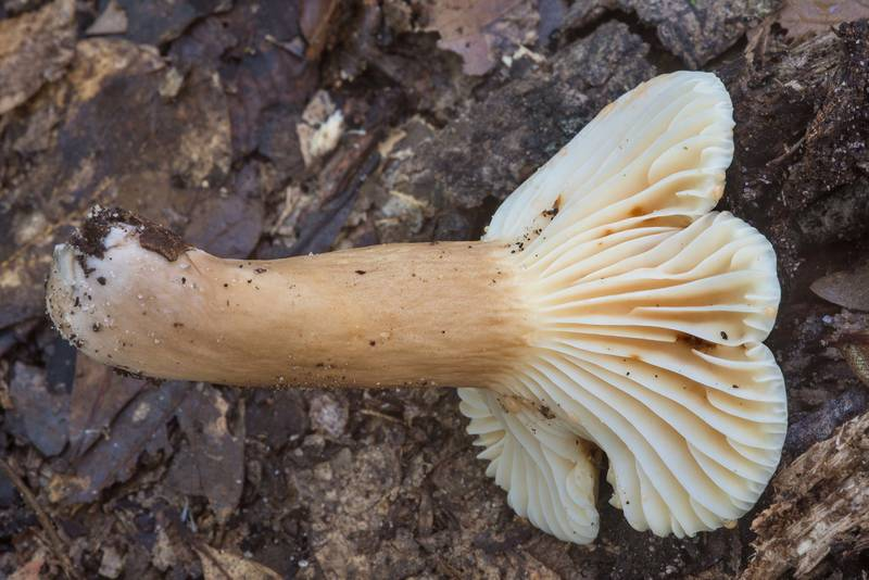 Gills of milkcap mushroom Lactarius subplinthogalus in Little Thicket Nature Sanctuary. Found at mushroom walk of GSMS. Cleveland, Texas, November 3, 2018