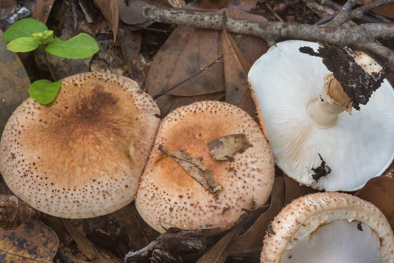 Group of freckled dapperling mushrooms (Echinoderma asperum) under oaks in Little Thicket Nature Sanctuary. Found at mushroom walk of GSMS. Cleveland, Texas, November 3, 2018
