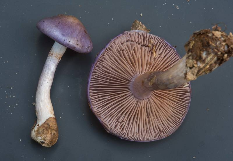 "Viscid violet cort mushrooms (<B>Cortinarius iodes</B>) collected by people at mushroom walk of Gulf States Mycological Society. Little Thicket Nature Sanctuary, Cleveland, Texas, <A HREF=""../date-en/2018-11-03.htm"">November 3, 2018</A>"