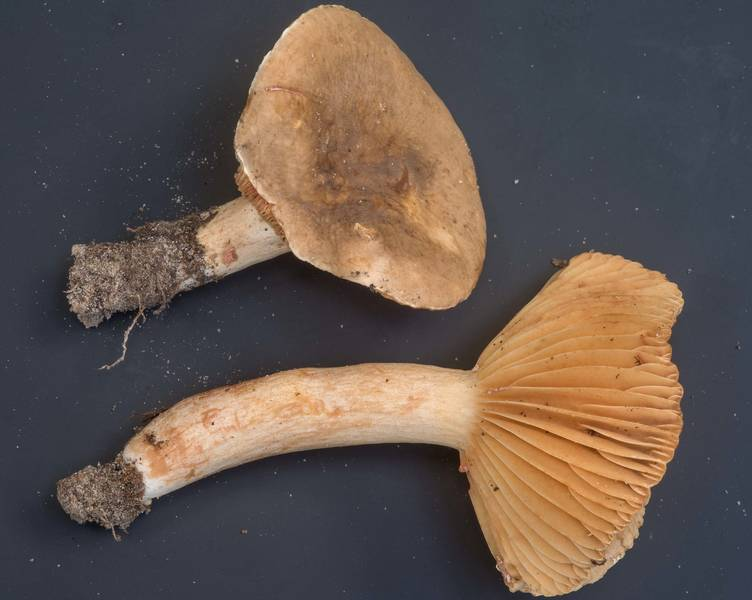 Milkcap mushrooms Lactifluus petersenii (Lactarius petersenii) collected by people at mushroom walk of Gulf States Mycological Society. Little Thicket Nature Sanctuary, Cleveland, Texas, November 3, 2018