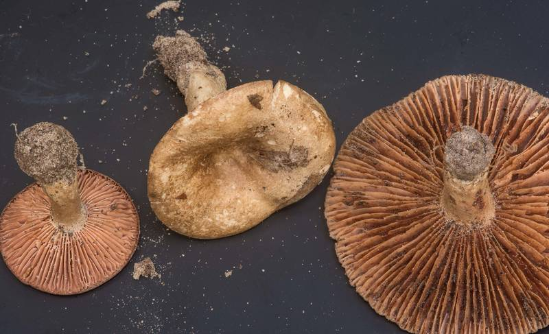 "Brittlegill mushrooms <B>Russula cortinarioides</B> collected by people at mushroom walk of Gulf States Mycological Society. Little Thicket Nature Sanctuary, Cleveland, Texas, <A HREF=""../date-en/2018-11-03.htm"">November 3, 2018</A>"