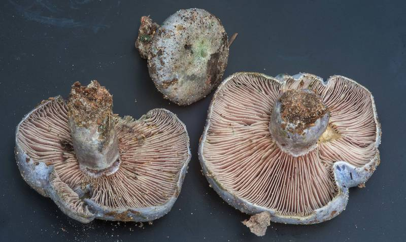 "Milkcap mushrooms <B>Lactarius paradoxus</B> collected by people at mushroom walk of Gulf States Mycological Society. Little Thicket Nature Sanctuary, Cleveland, Texas, <A HREF=""../date-en/2018-11-03.htm"">November 3, 2018</A>"