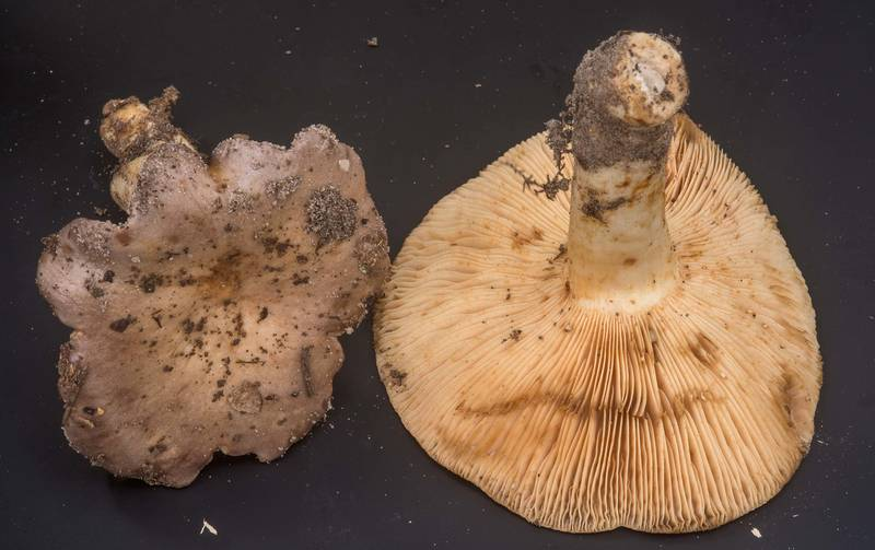 Milkcap mushrooms Lactarius argillaceifolius collected by people at mushroom walk of Gulf States Mycological Society. Little Thicket Nature Sanctuary, Cleveland, Texas, November 3, 2018