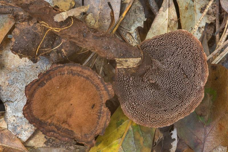 Velvet tooth mushrooms (Hydnellum spongiosipes(?)) in Little Thicket Nature Sanctuary. Cleveland, Texas, November 3, 2018