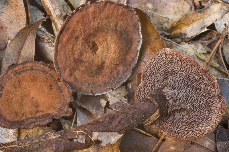 Velvet tooth mushrooms (Hydnellum spongiosipes(?)) in an oak and pine forest in Little Thicket Nature Sanctuary. Cleveland, Texas, November 3, 2018