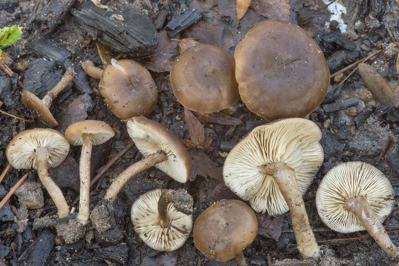 Mushrooms Tephrocybe anthracophila (Lyophyllum anthracophilum) on a bonfire site at hiker's campground under large pines on Caney Creek Trail (Little Lake Creek Loop Trail) in Sam Houston National Forest near Huntsville. Texas, November 4, 2018