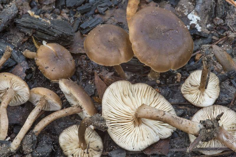 Group of mushrooms Tephrocybe anthracophila (Lyophyllum anthracophilum) on a bonfire site at hiker's campground under large pines on Caney Creek Trail (Little Lake Creek Loop Trail) in Sam Houston National Forest near Huntsville. Texas, November 4, 2018