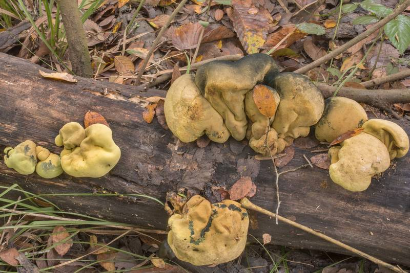Mushrooms Entonaema liquescens on a log in Lick Creek Park. College Station, Texas, November 6, 2018