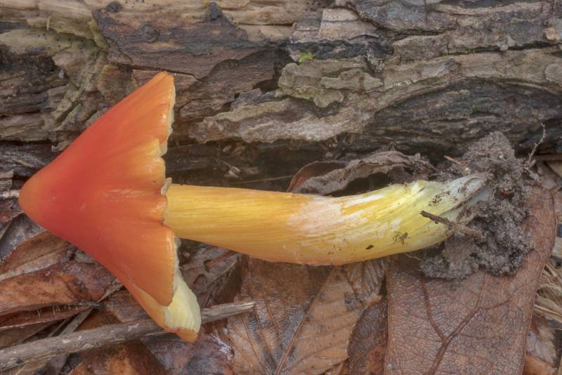 Waxcap (Hygrocybe) mushroom on Yaupon Loop Trail in Lick Creek Park. College Station, Texas, November 6, 2018