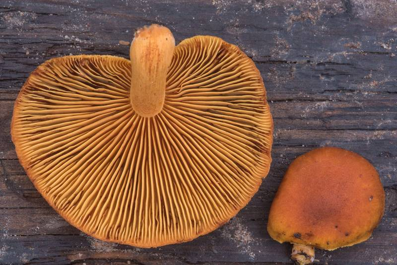 "Common rustgill mushrooms (<B>Gymnopilus penetrans</B>) on a pine log on Little Lake Creek Loop Trail in Sam Houston National Forest. Richards, Texas, <A HREF=""../date-en/2018-11-11.htm"">November 11, 2018</A>"
