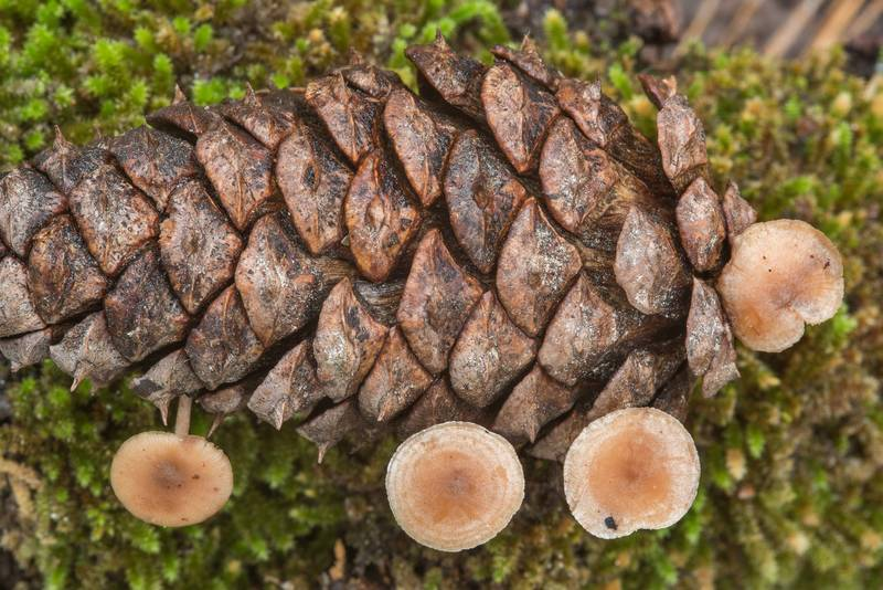 Conifercone cap mushrooms (Baeospora myosura) on a pine cone on Little Lake Creek Loop Trail in Sam Houston National Forest. Richards, Texas, November 11, 2018