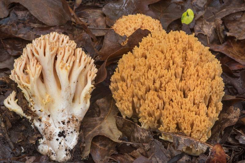 Coral mushrooms Ramaria formosa on Yaupon Loop Trail in Lick Creek Park. College Station, Texas, November 19, 2018