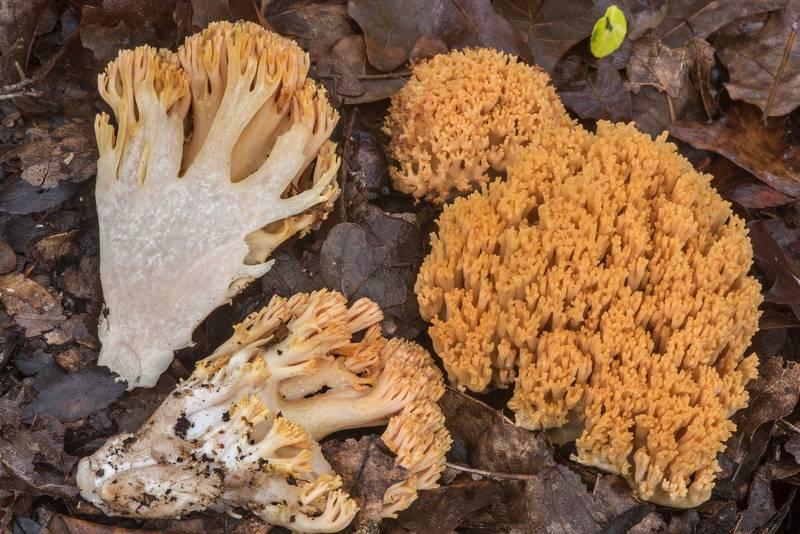 Dissected coral mushrooms Ramaria formosa on Yaupon Loop Trail in Lick Creek Park. College Station, Texas, November 19, 2018