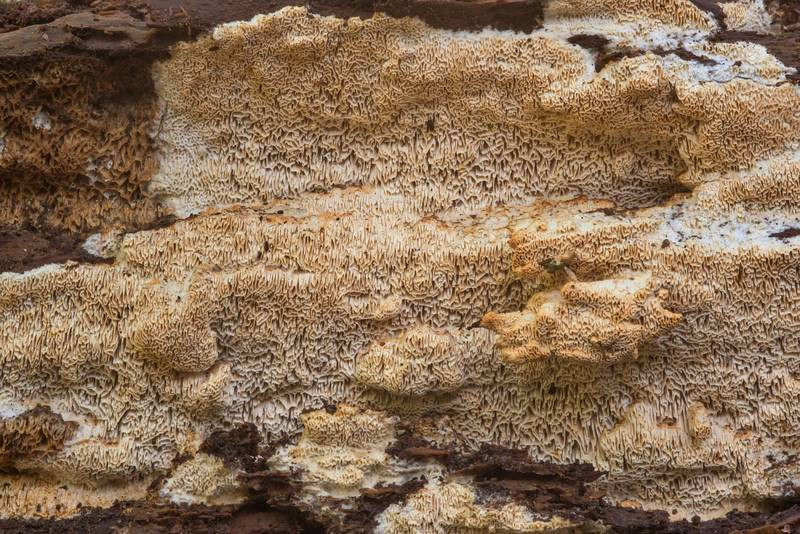 Elastic fungus Wrightoporia avellanea on a rotten pine log on Chinquapin Trail in Huntsville State Park. Texas, November 21, 2018