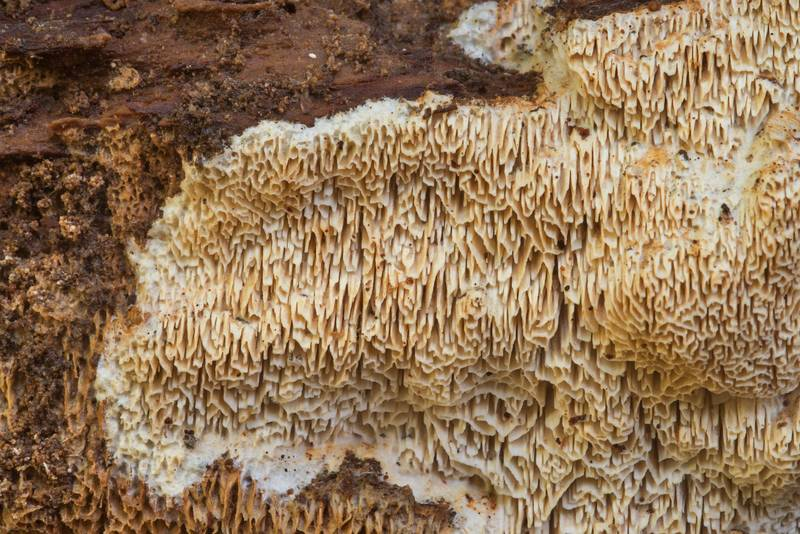 Details of elastic fungus Wrightoporia avellanea on a rotten pine log on Chinquapin Trail in Huntsville State Park. Texas, November 21, 2018