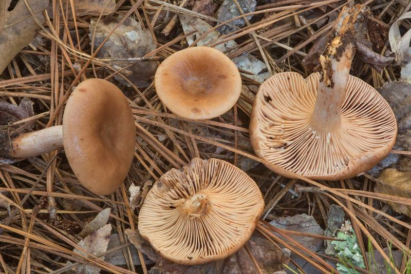 Milkcap mushrooms (Lactarius) on Chinquapin Trail in Huntsville State Park. Texas, November 21, 2018